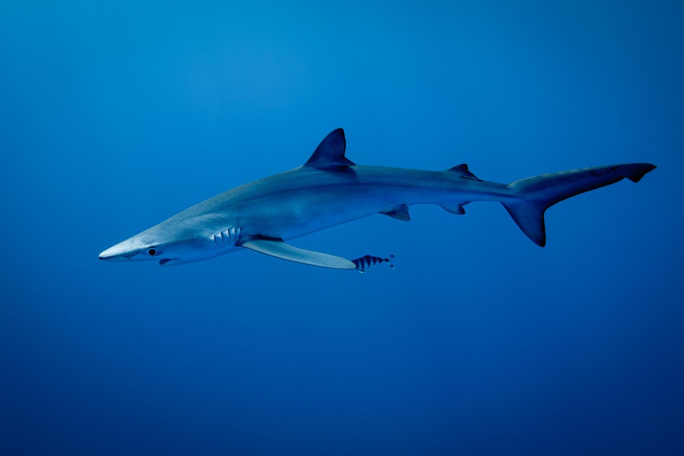 blue shark in deep blue azores