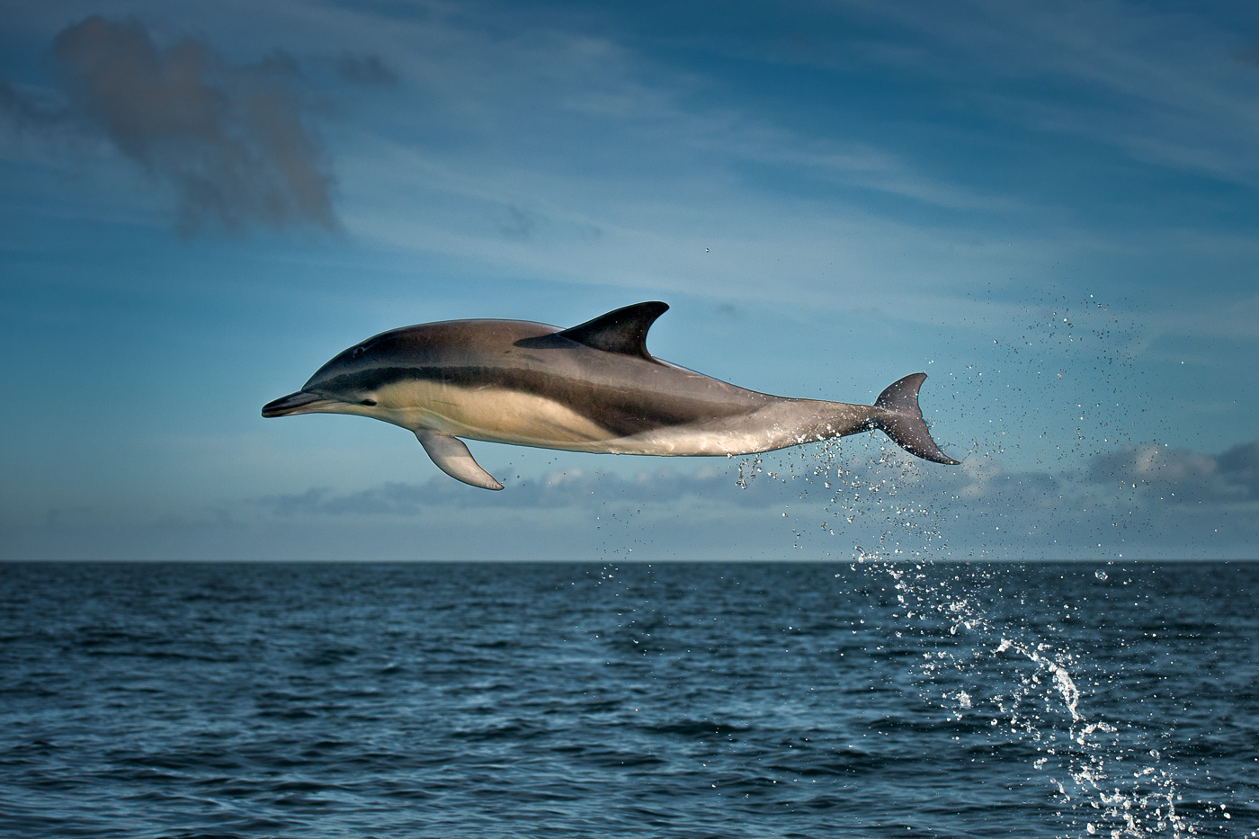 common dolphin jumping ireland