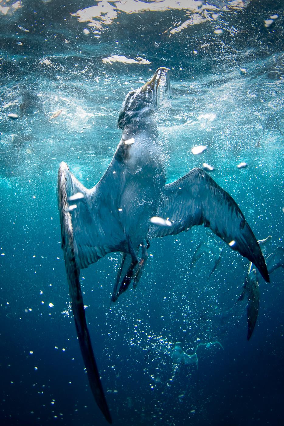 cory's shearwater underwater azores