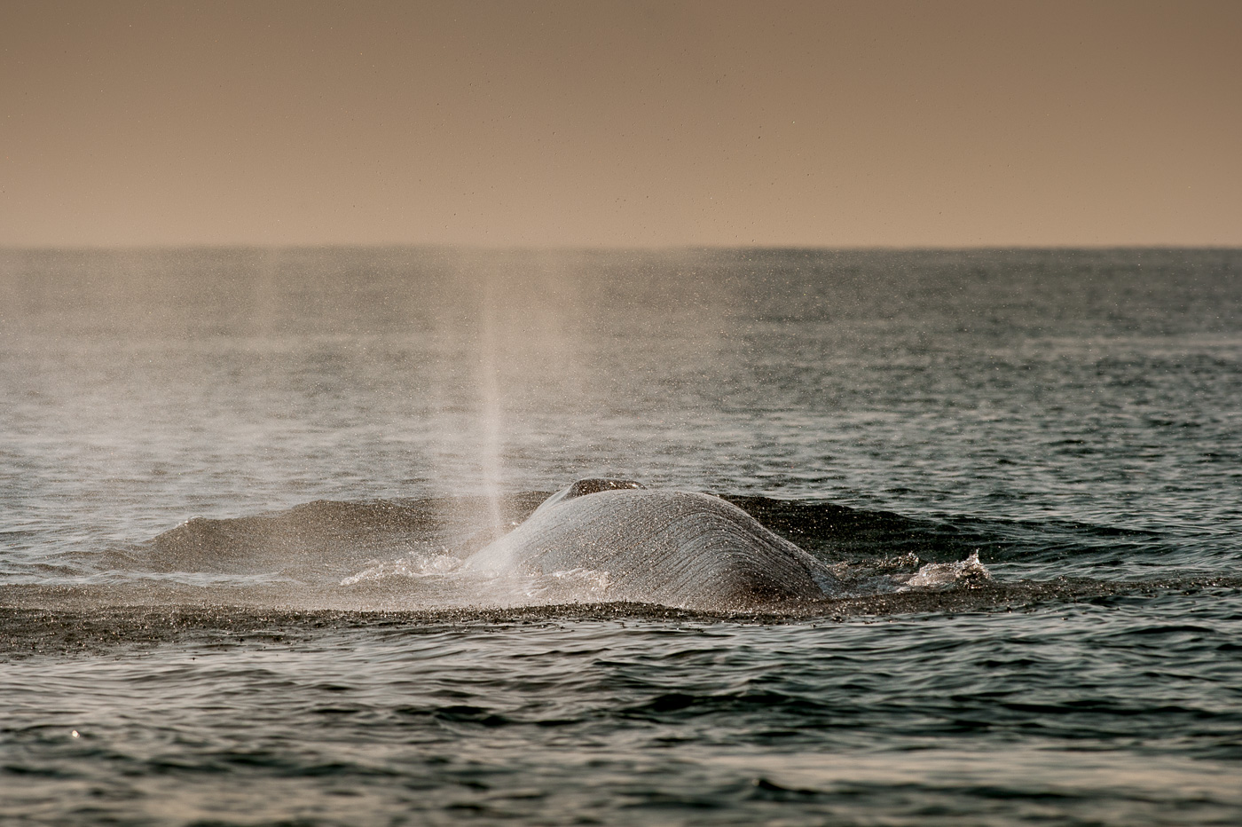 fin_whale_blow_ireland