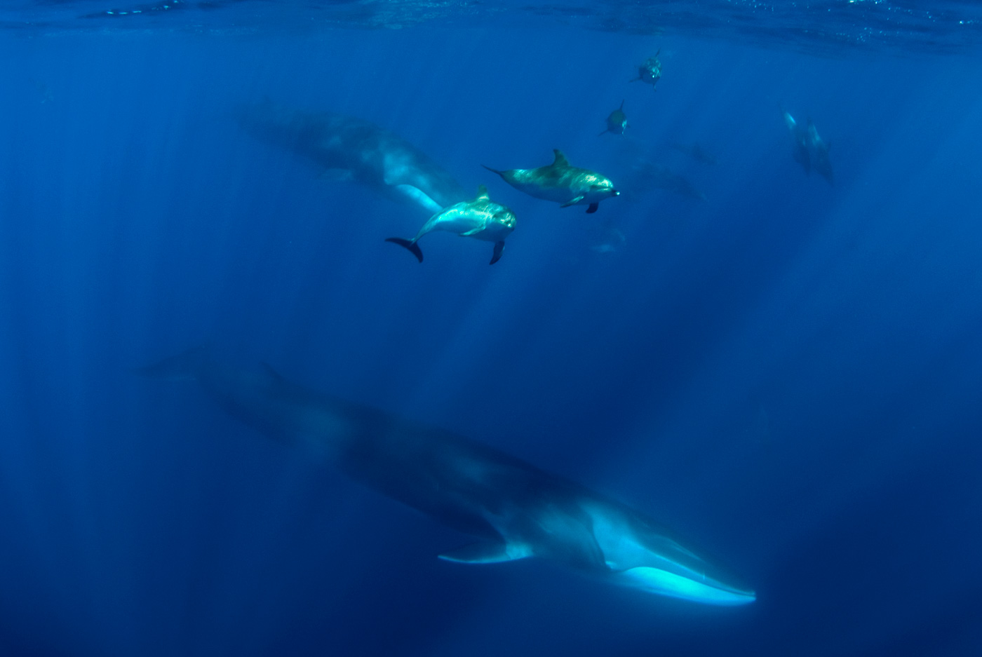 fin whale underwater with spotted dolphins azores