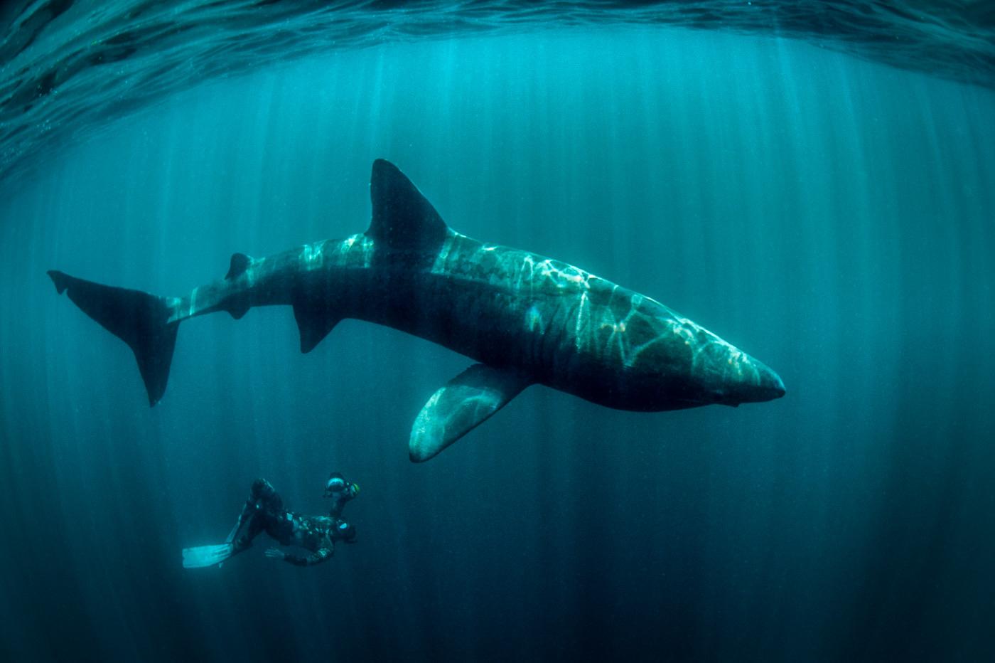 giant huge basking shark with diver ireland