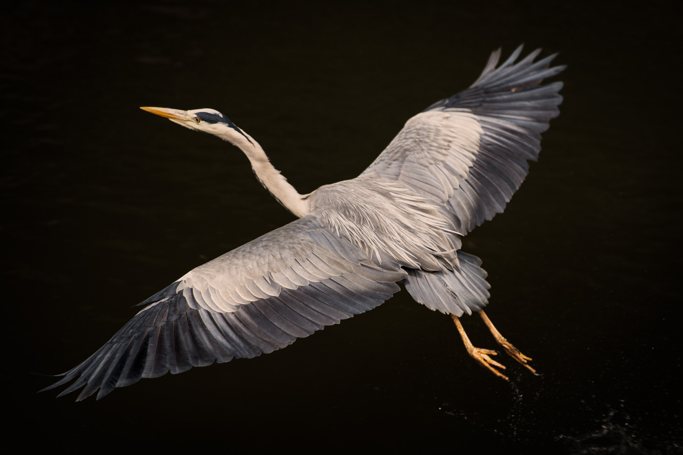 grey_heron_fly_ireland