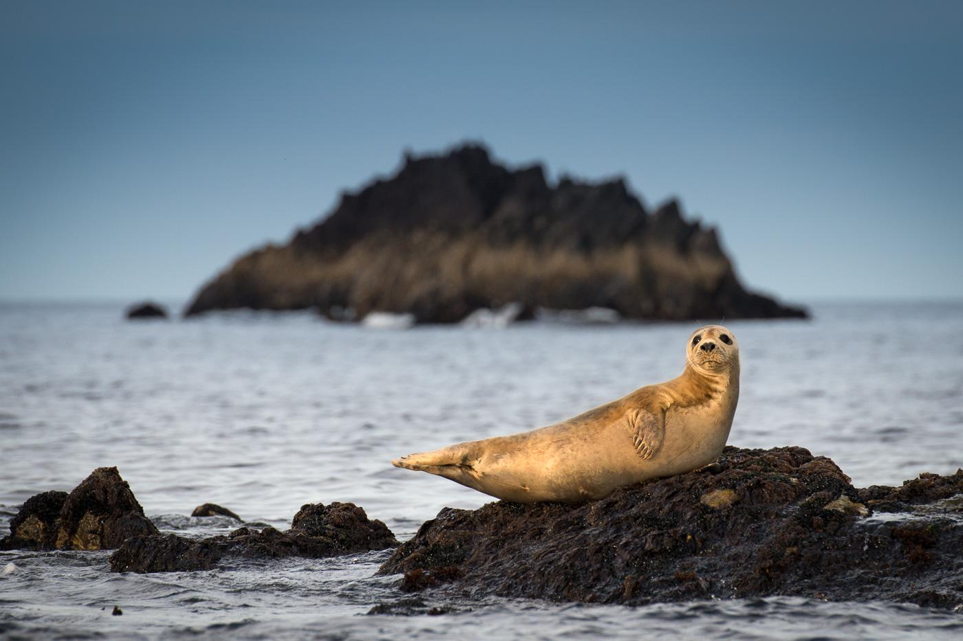 grey seal on rock blasket island