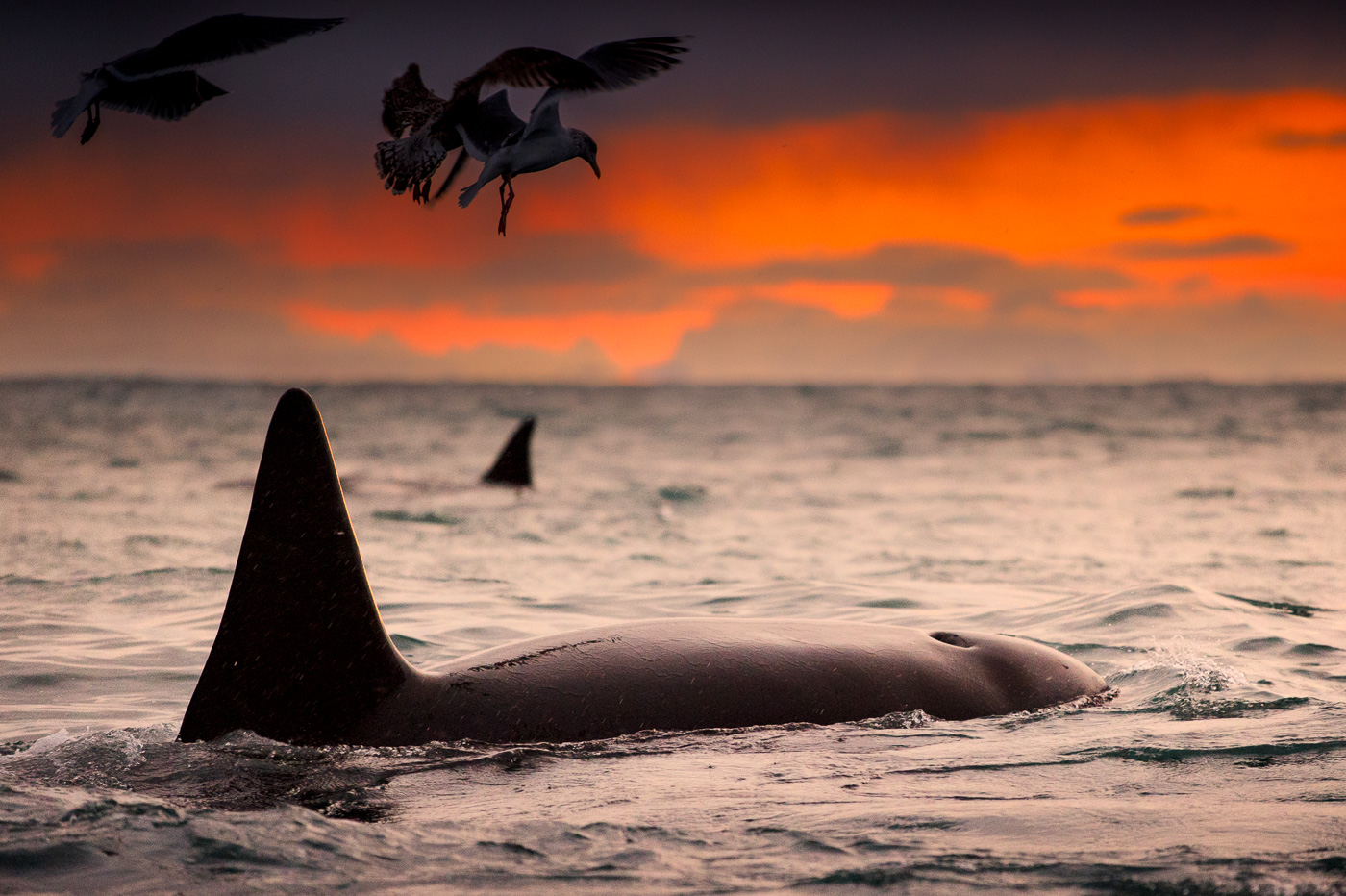 killer whale orca female andenes norway