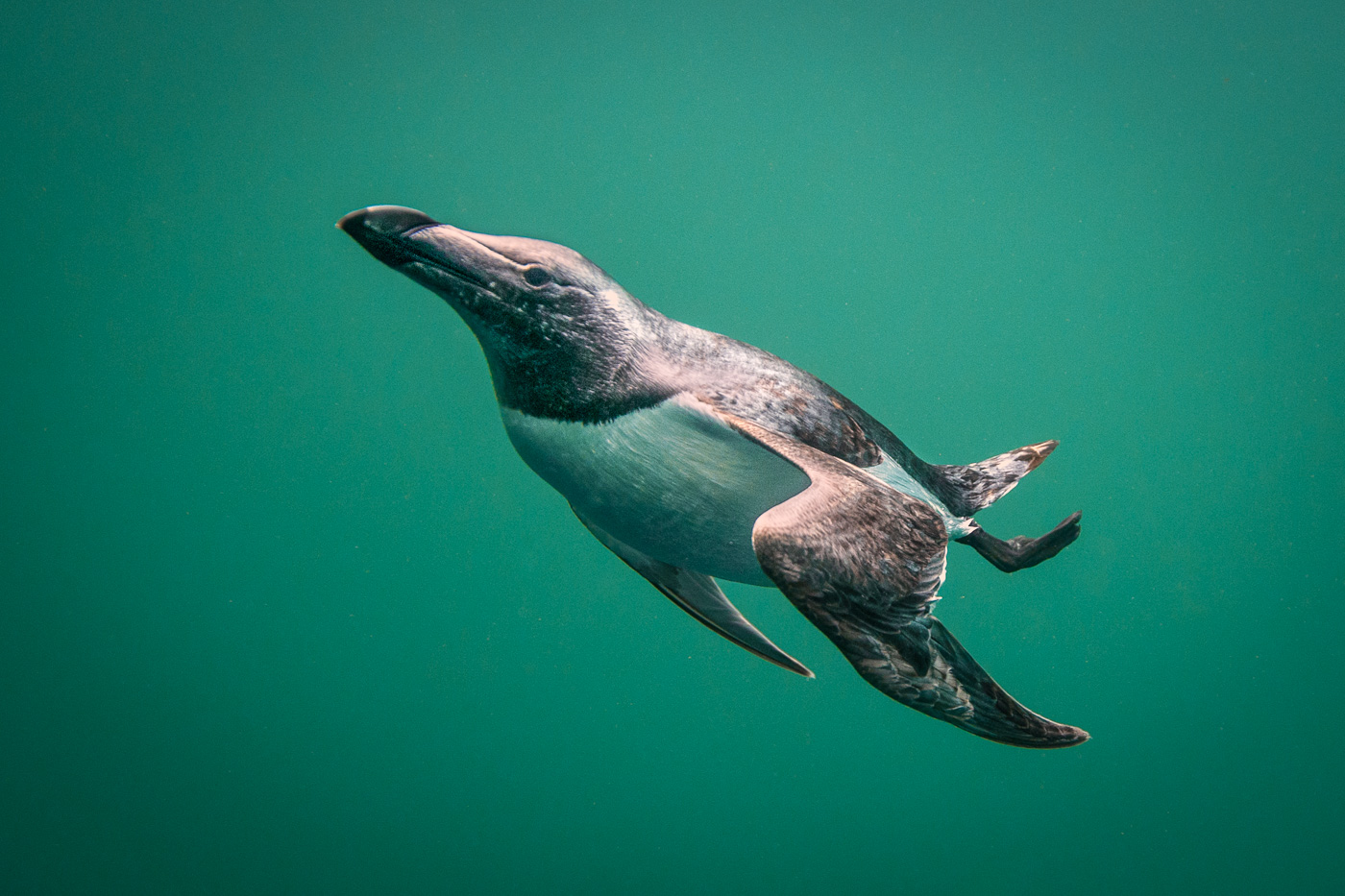 razorbill_underwater_dive_swim_ireland