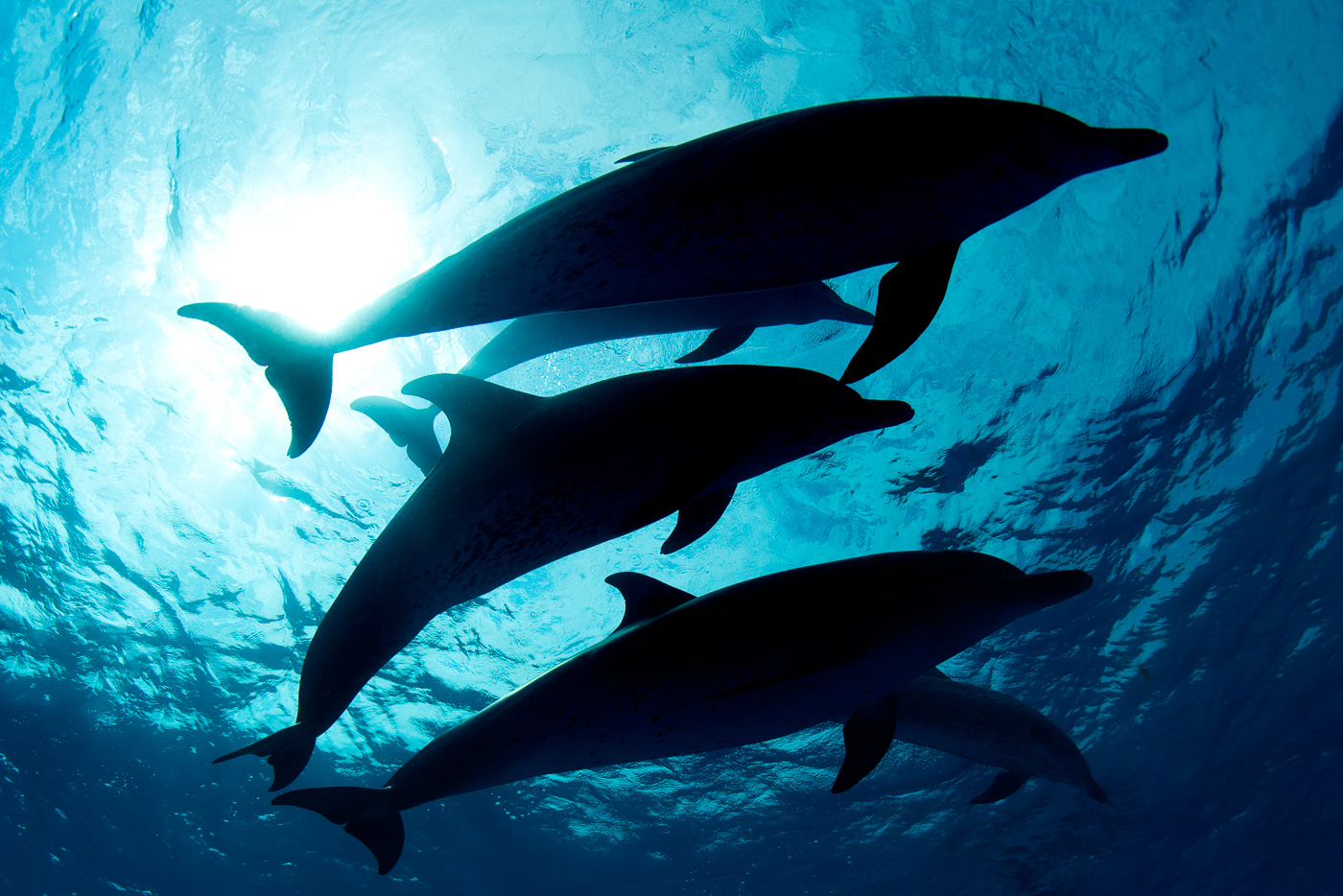 silhoutte of spotted dolphins blue