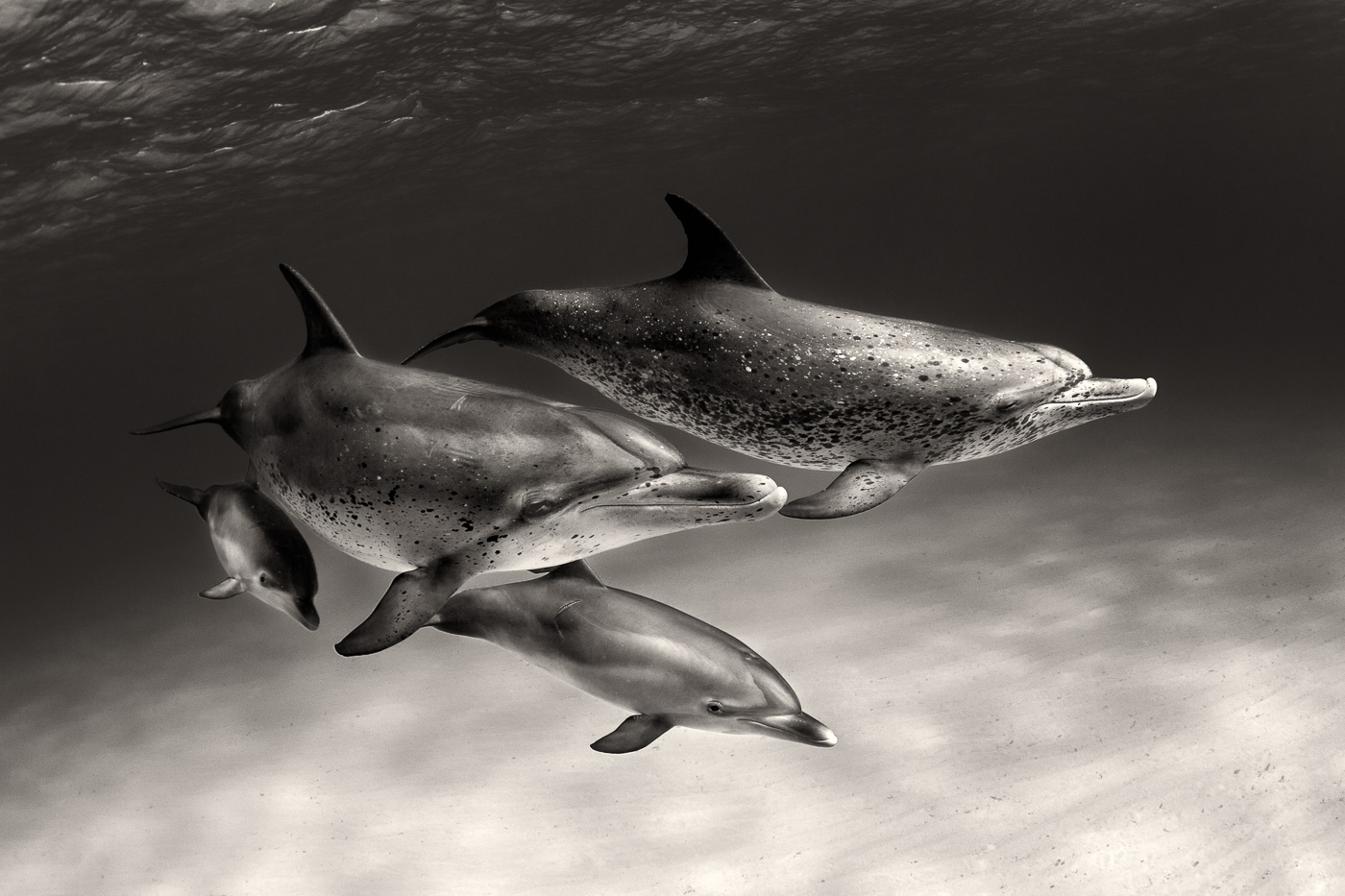 atlantic spotted dolphins family black and white | George ...