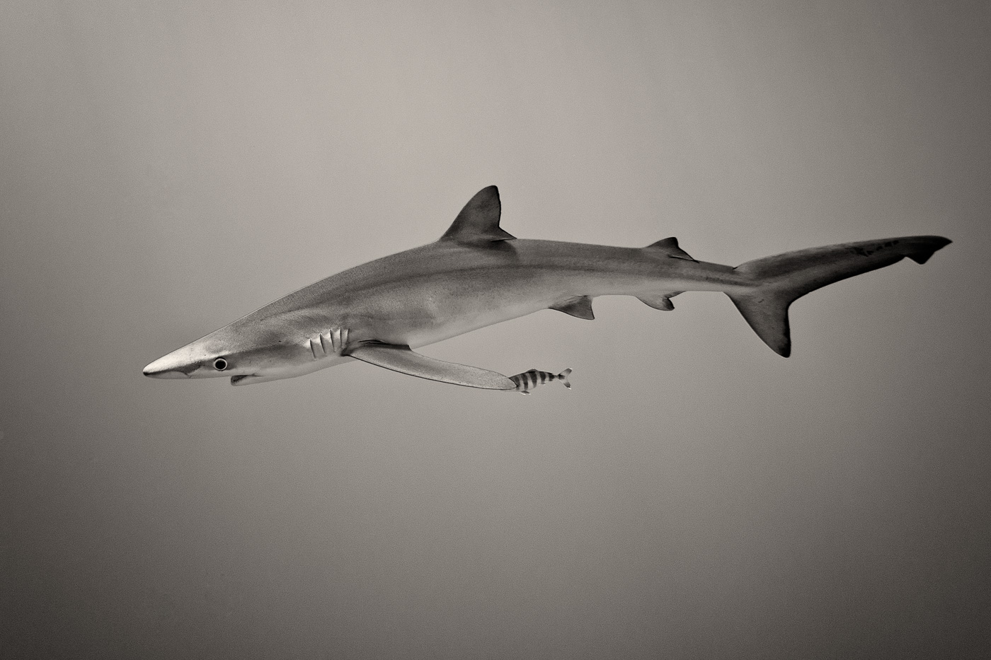 blue shark black and white