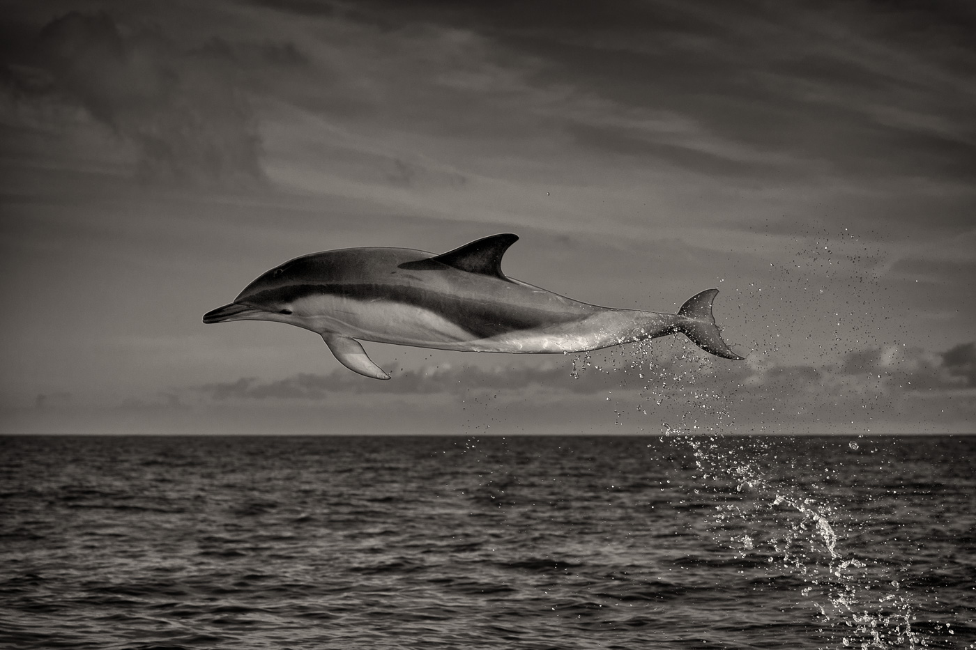 common dolphin in air black and white | George Karbus ...