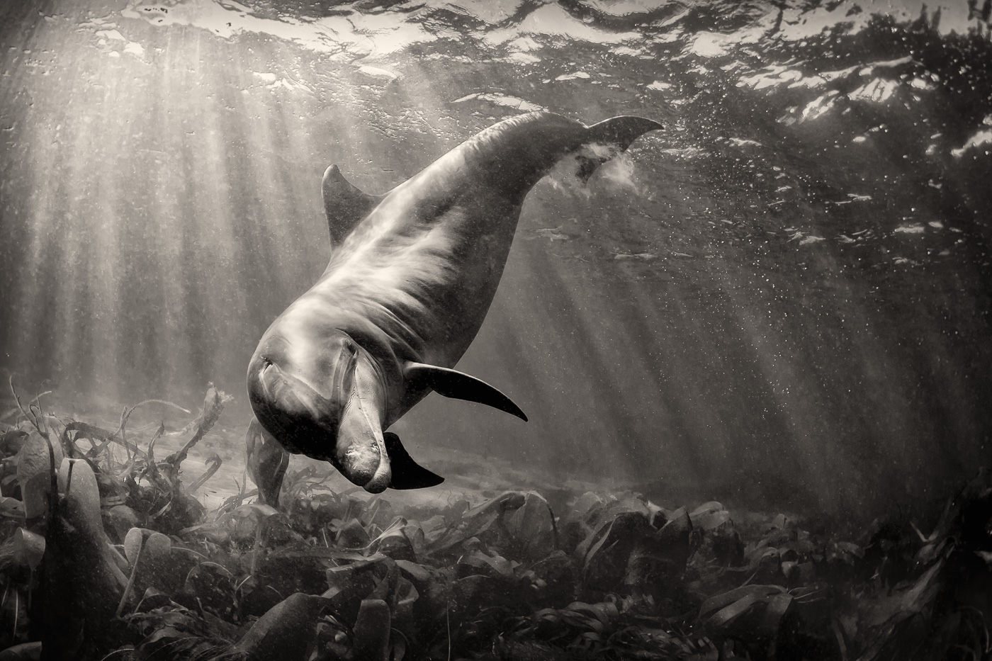 dolphin_photo_black_and_white
