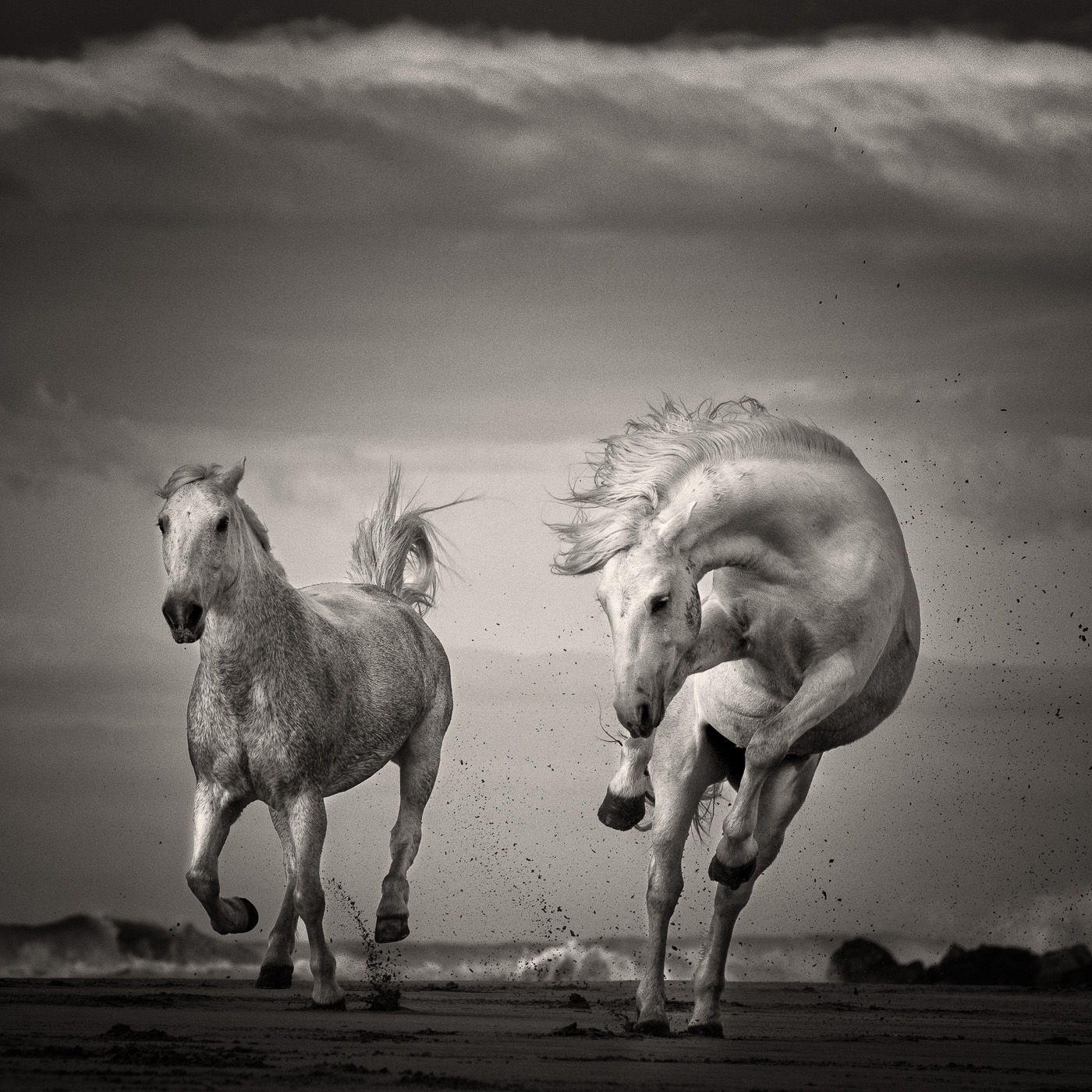 wild horse black and white