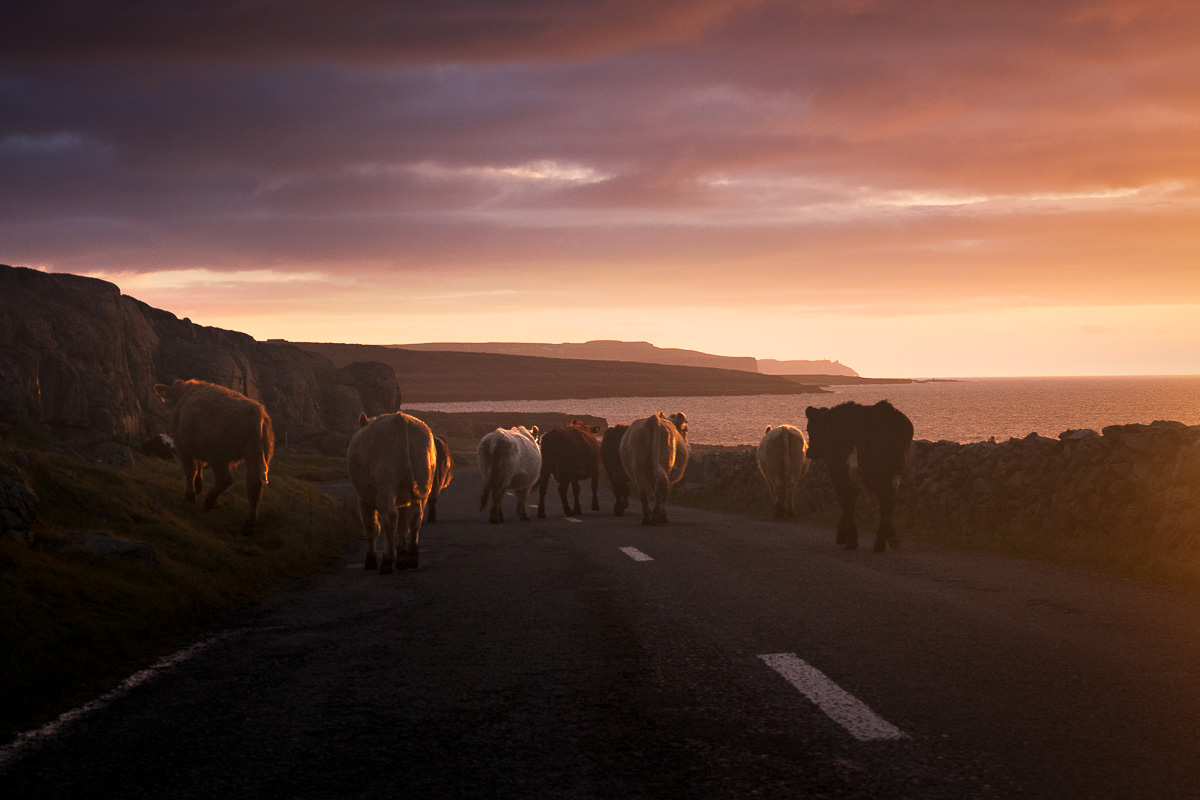 cows on road in Burren