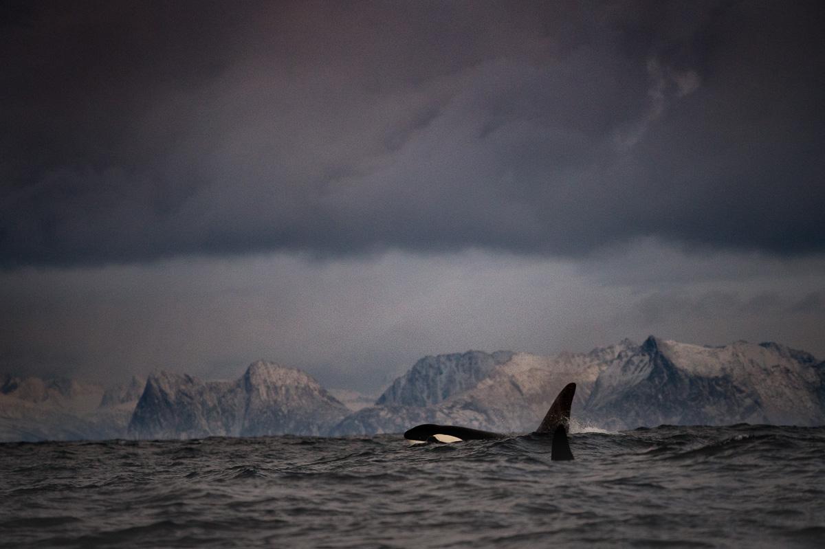 orca kileer whale scenery fjord norway