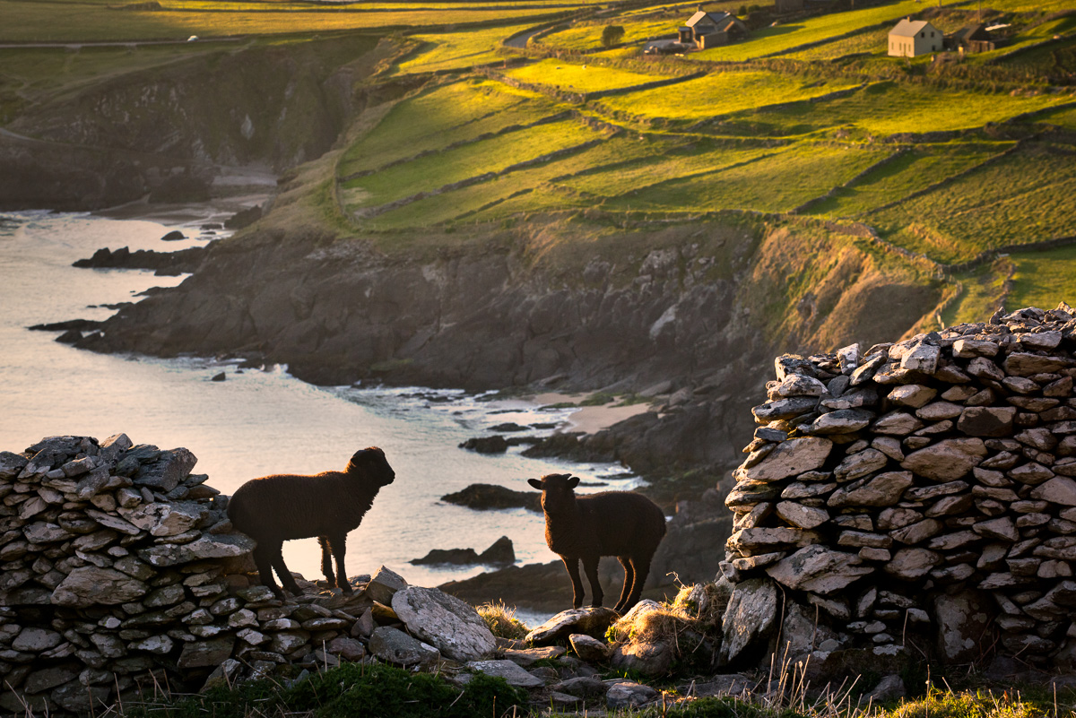 classic sheep ireland irish photo