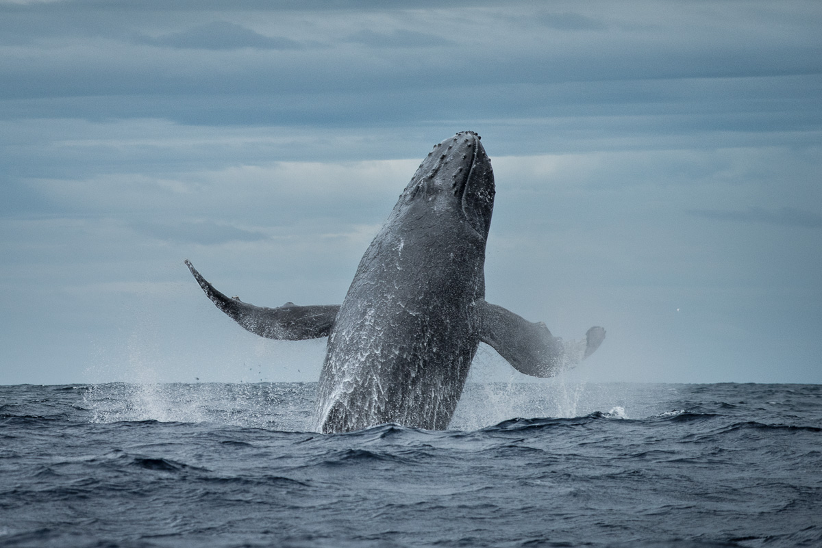 humpback_whale_try_to_fly