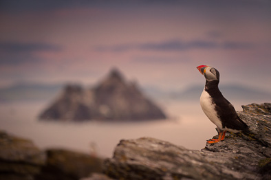 amazing Skellig Michael rock puffin photo