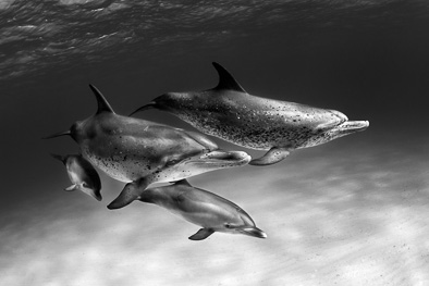 atlantic spotted dolphins black and white art underwater