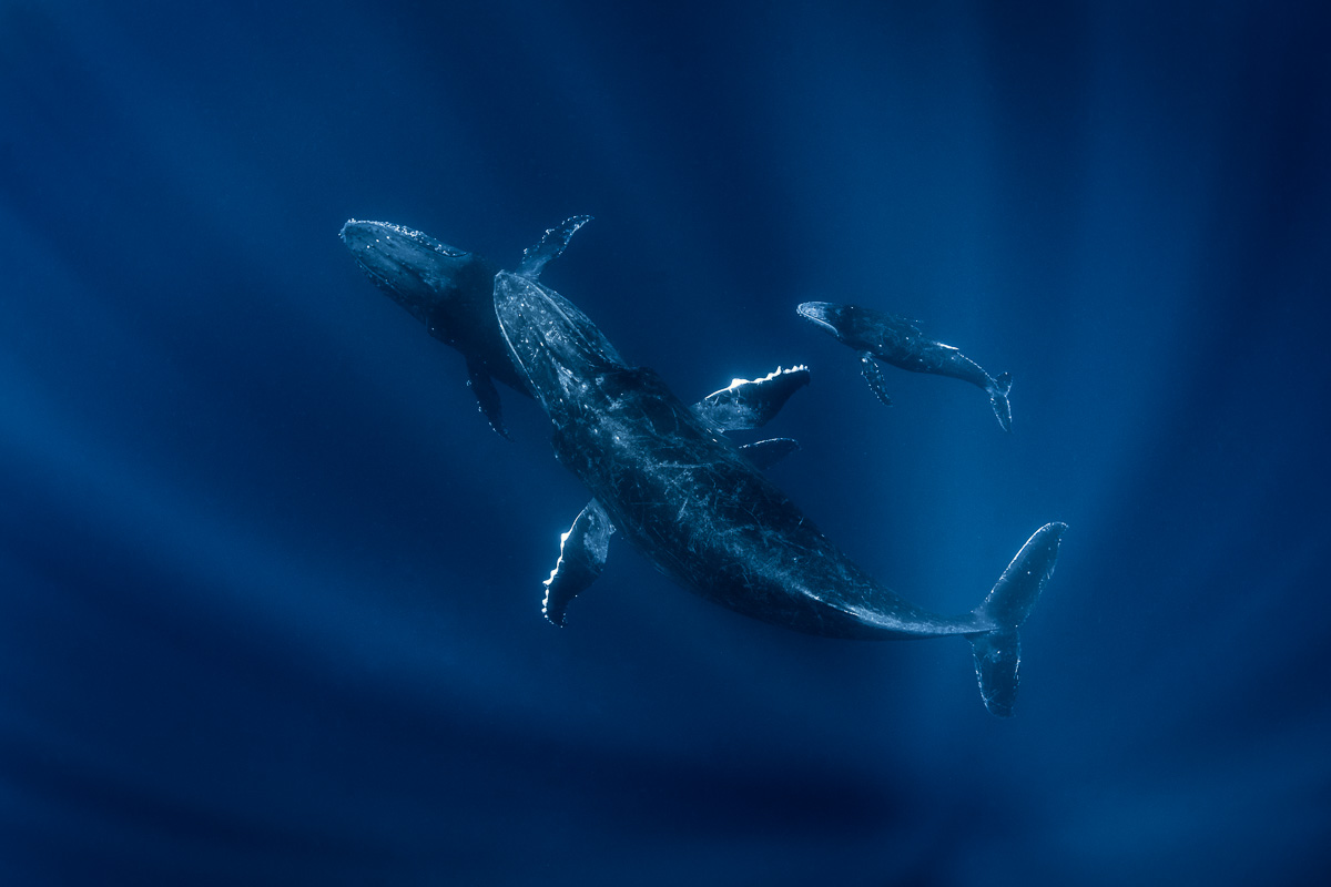 humpback whale sunrays family group underwater