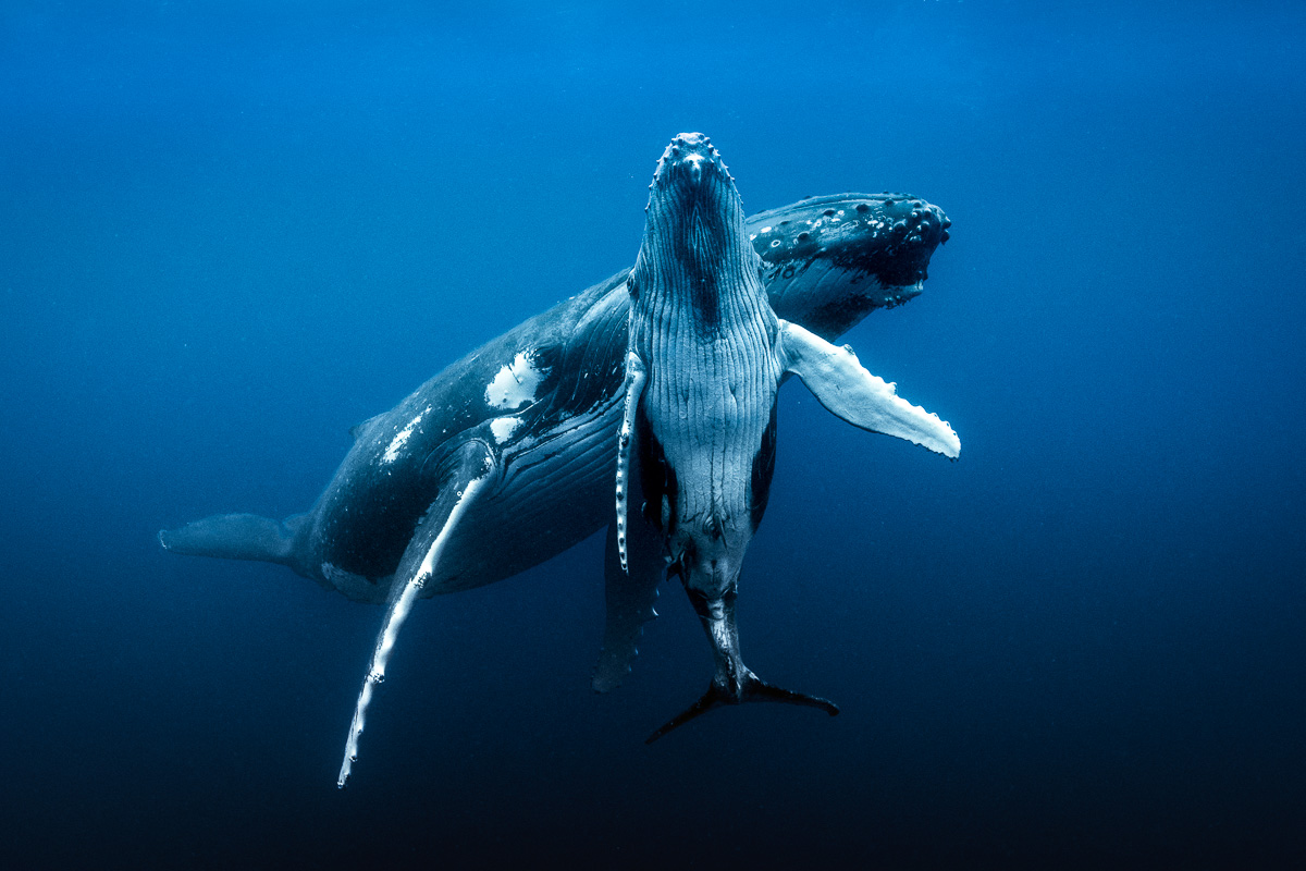 mother love humpback whale underwater