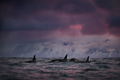 orcas killer whale mountain dramatic clouds arctic norway