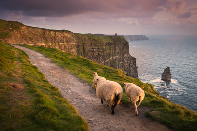 sheep cliffs of moher ireland photo