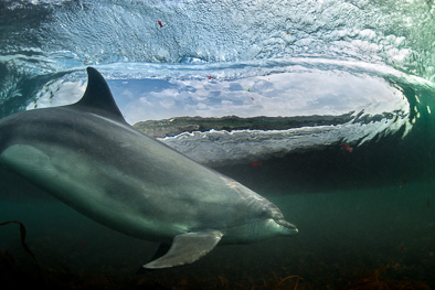 underwater view surfing dolphin wave picture