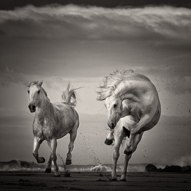 wild white horses black and white print