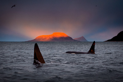 killer whale orcas dorsal fin in arctic light