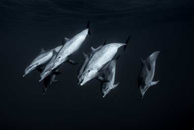 atlantic_spotted_dolphin_deep_sea_tenerife