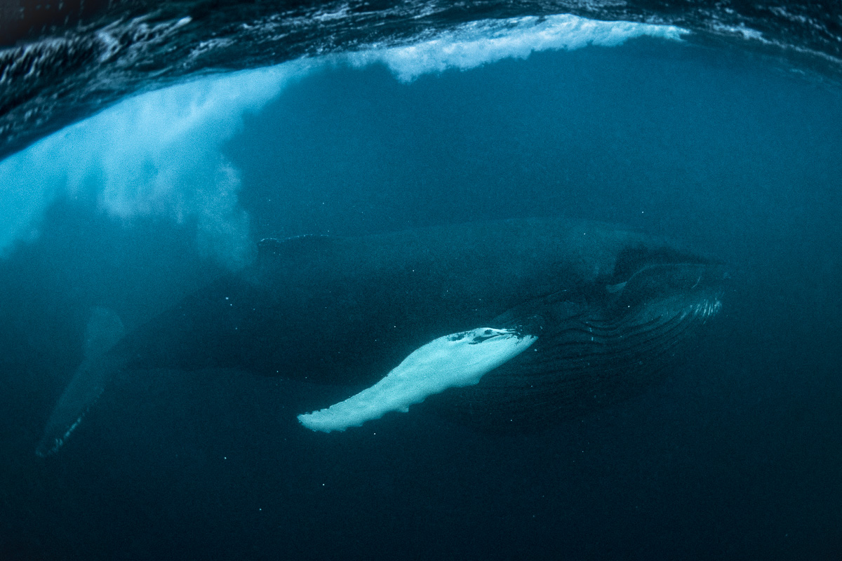 feeding humpback whale herring underwater