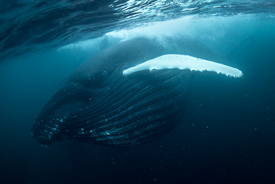 feeding humpback whale underwater herring norway