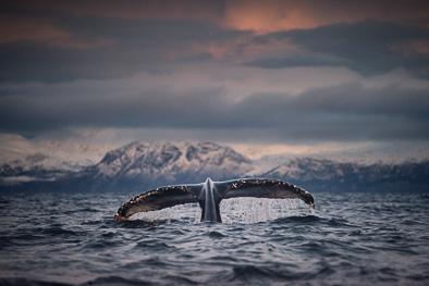 fluke whale tail arctic