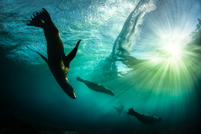 sealion_play_waves