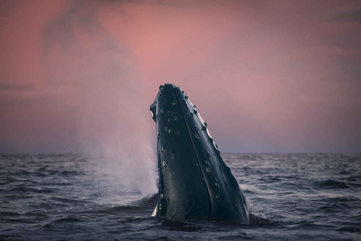 spy hopping Humpback Whale Norway