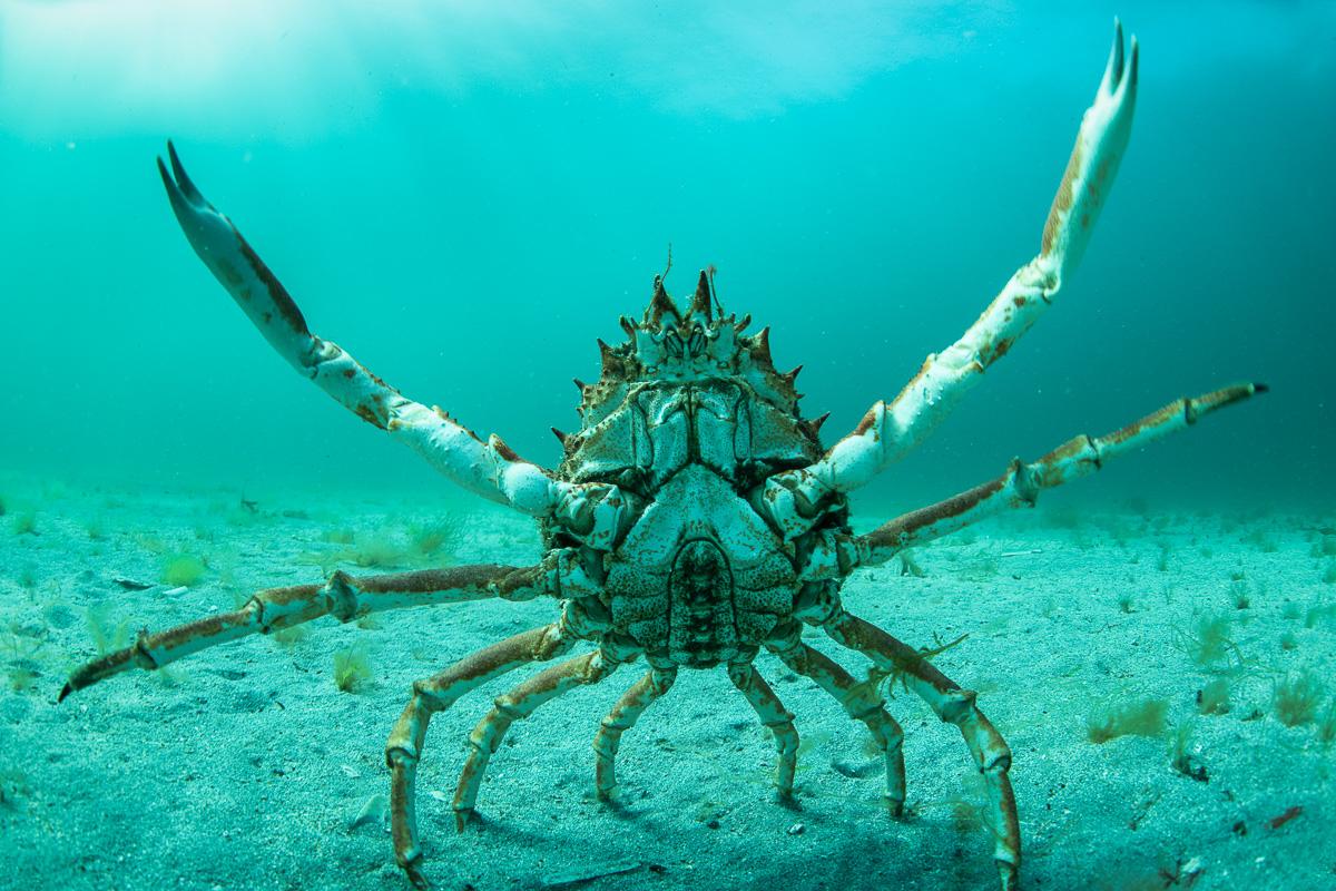 spider crab fight