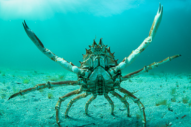 spider crab ireland underwater