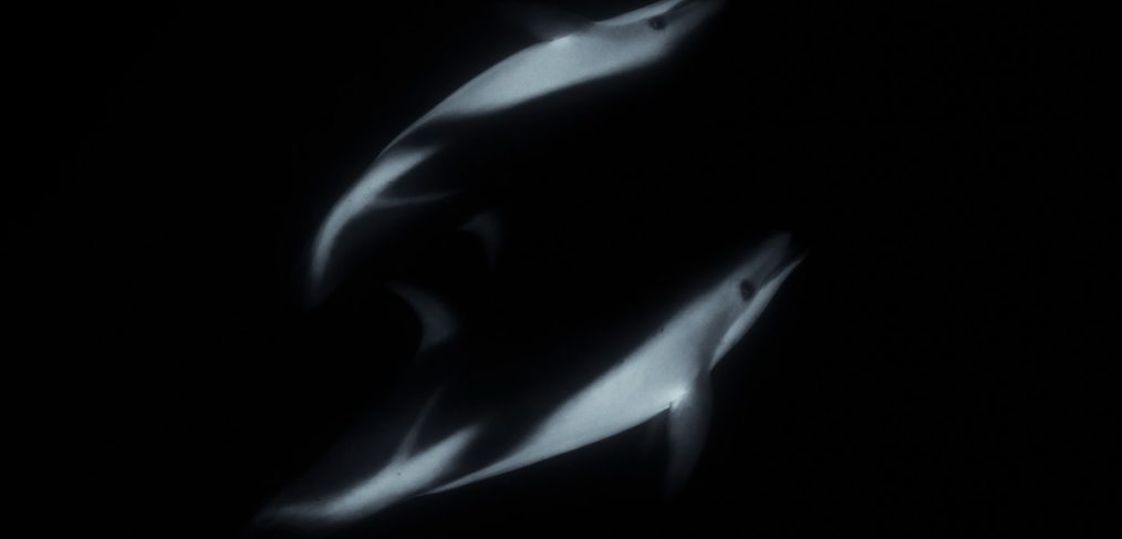 dusky dolphin black and white