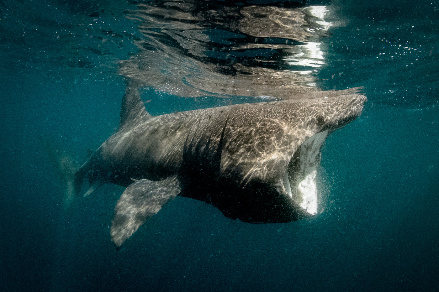basking shark feed ireland