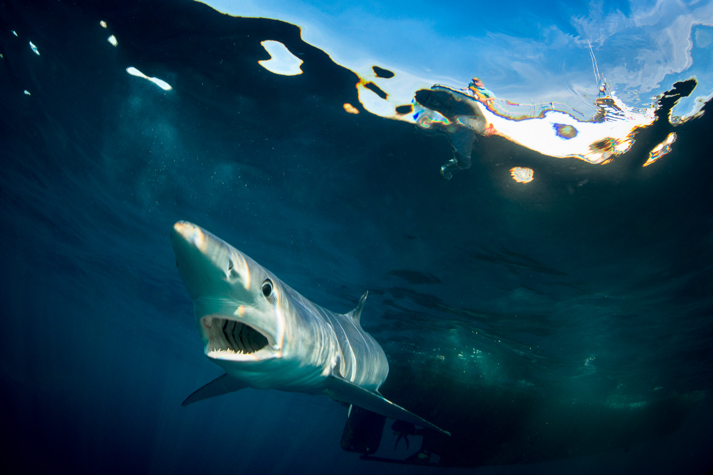 blue shark swim underwater open mouth