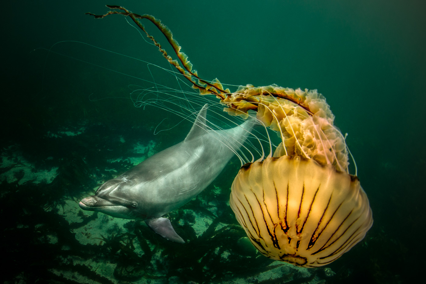 bottlenose dolphin and compass jellyfish