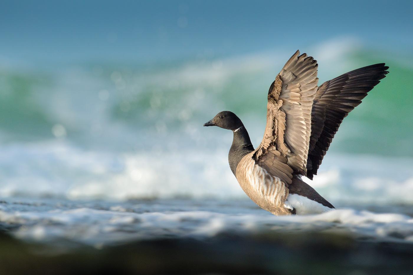 brent geese ireland