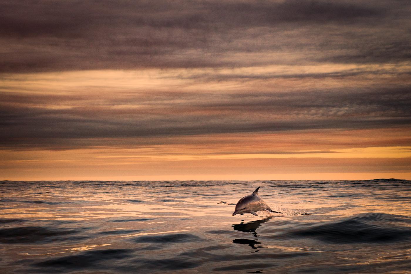 common dolphin jump leap sunset sky ireland