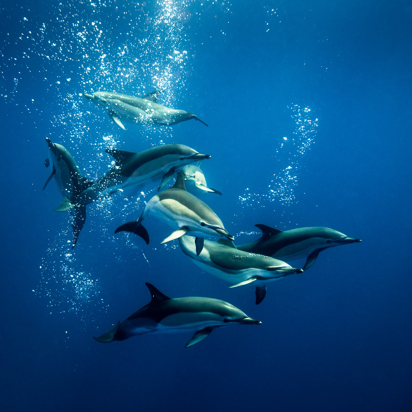 common dolphins socialize underwater