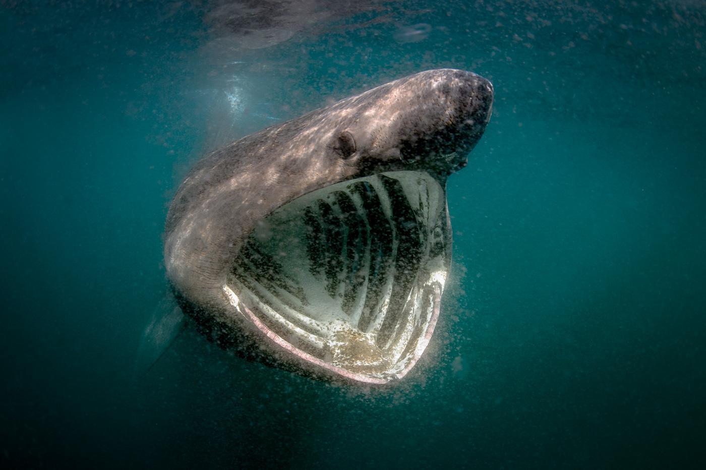 feeding basking shark blasket island