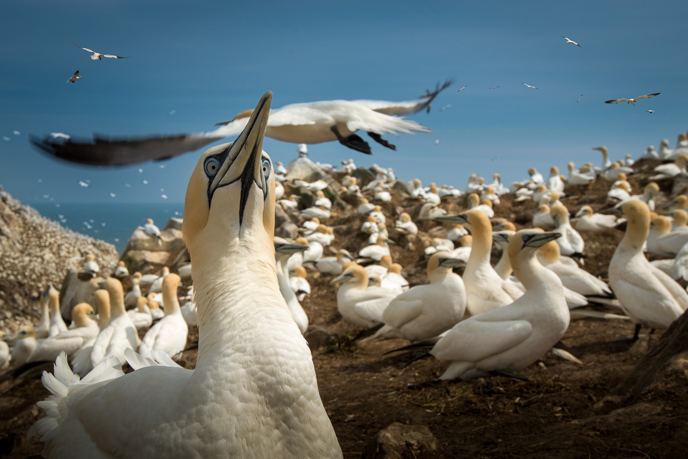 gannet colony saltees island ireland