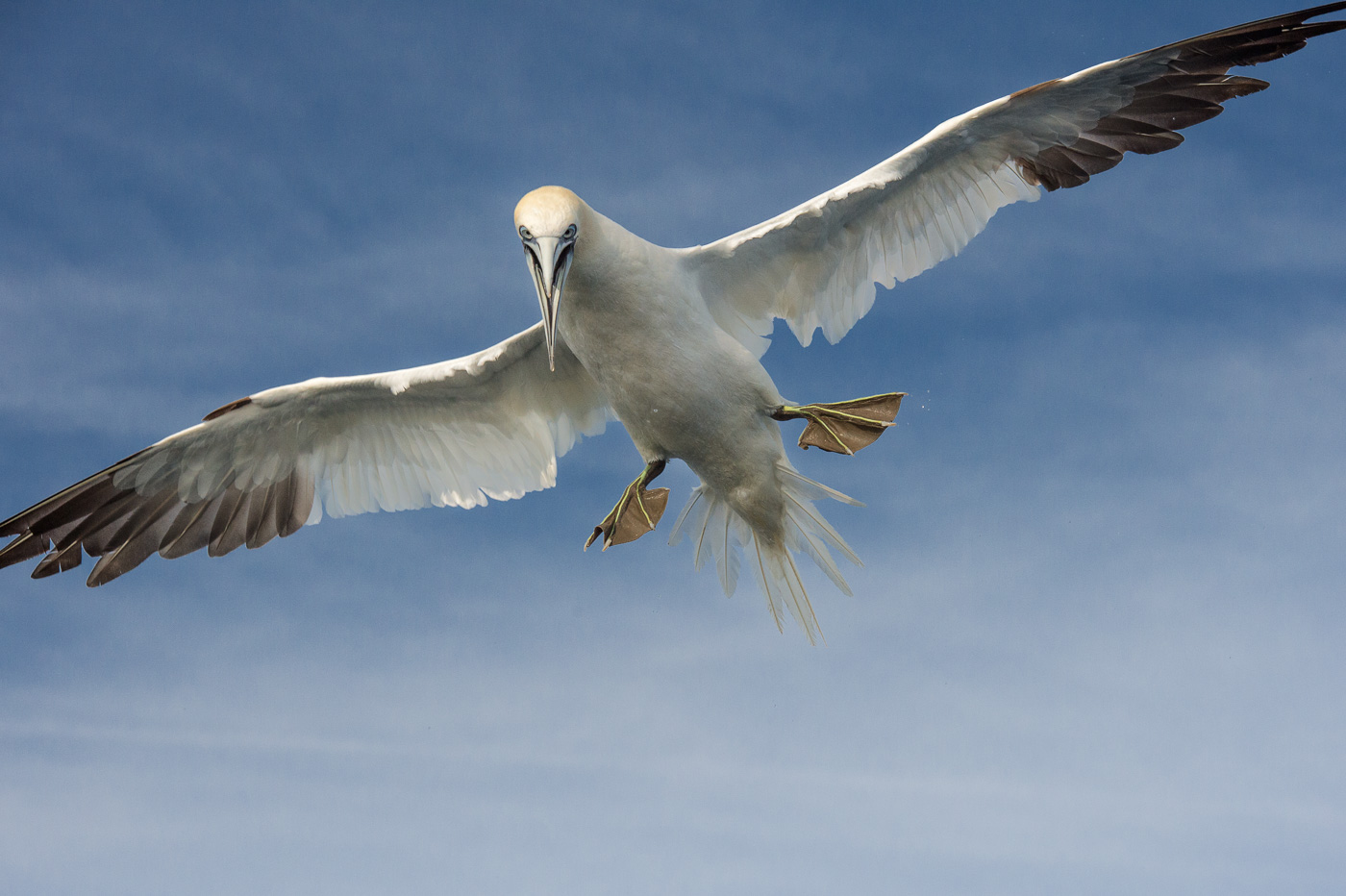 gannet fly skellig ireland