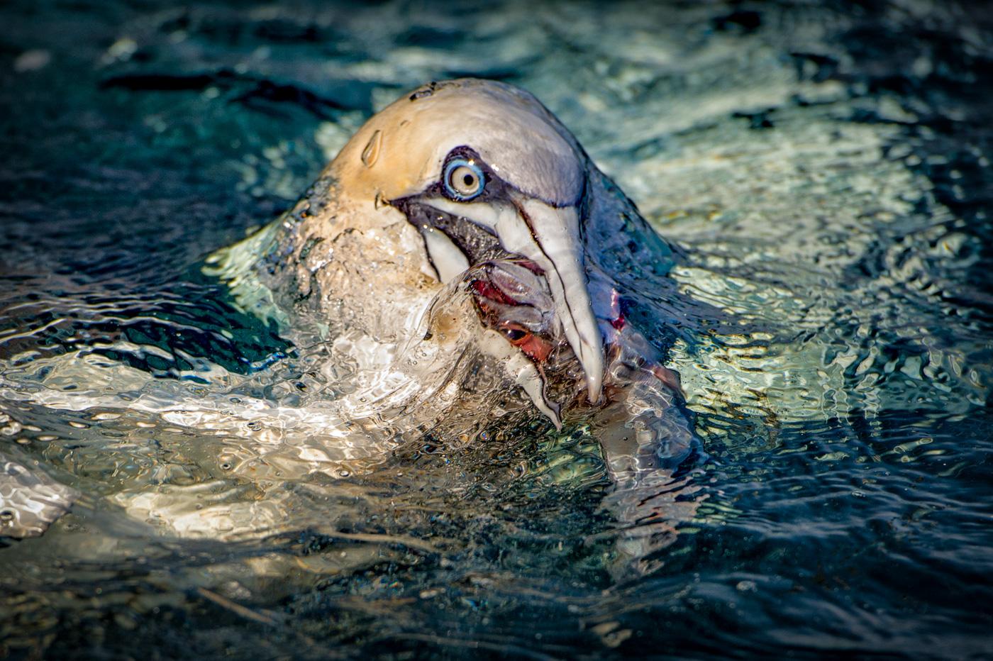 gannet hunt fish mackerel ireland