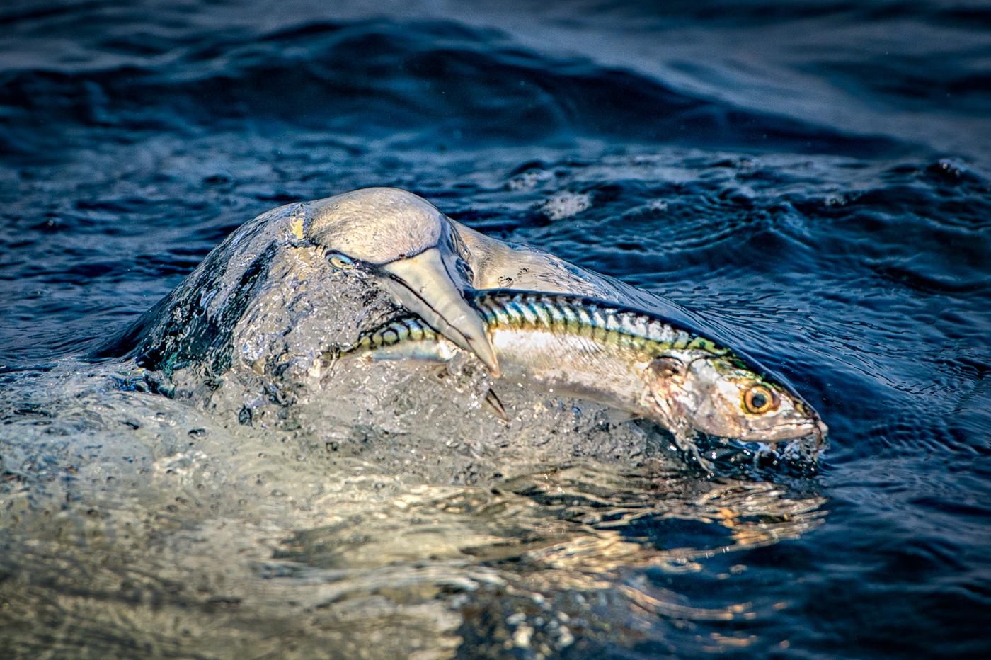 gannet hunt for mackerel