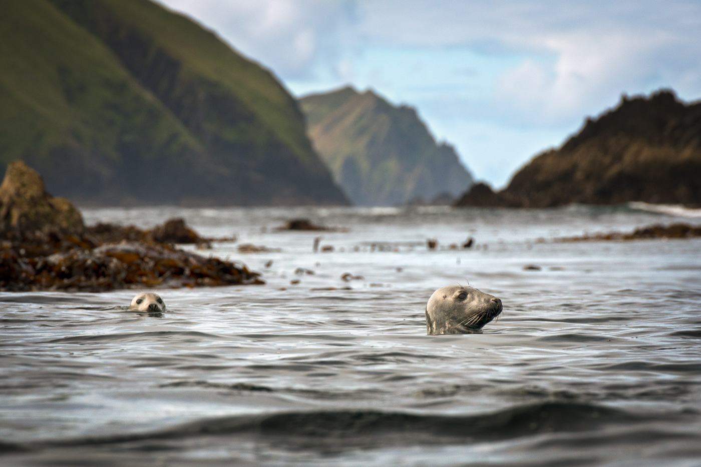 grey_seal_great_blasket